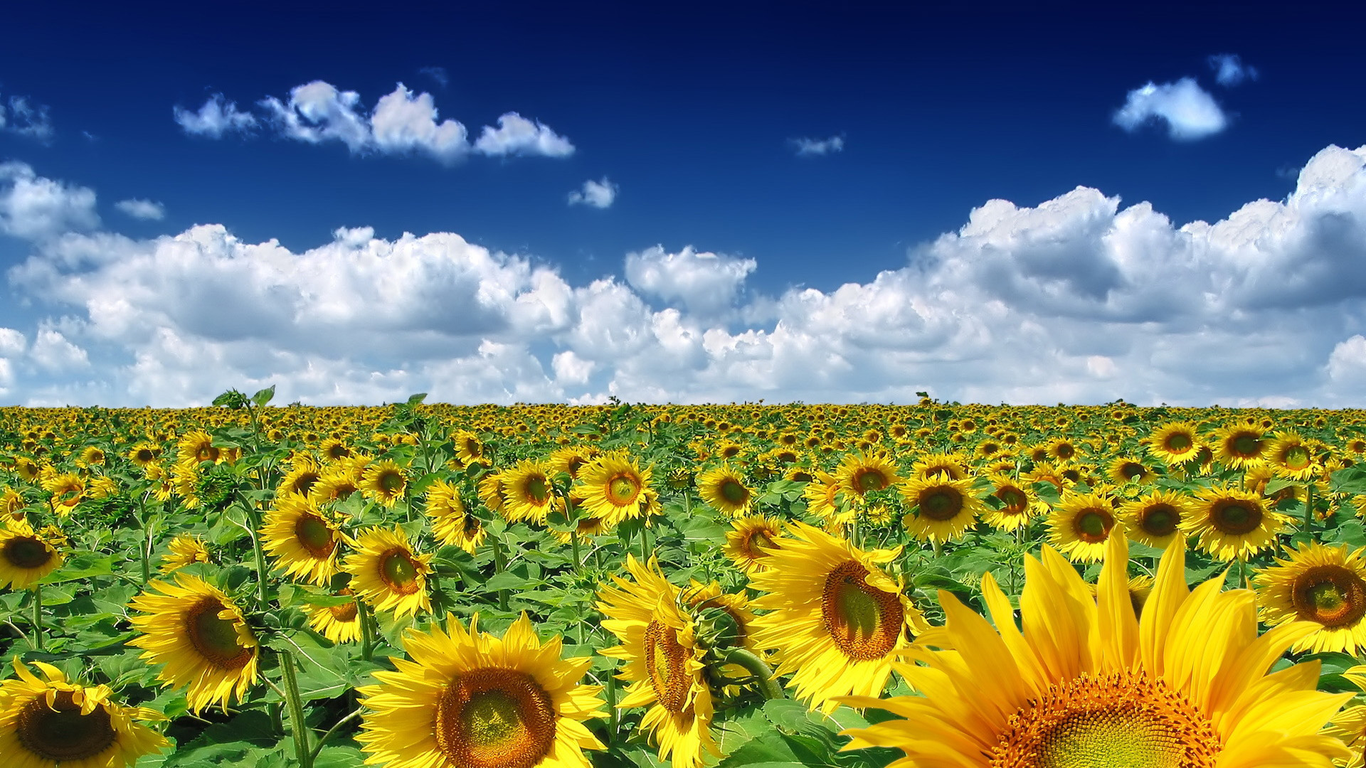 free-spring-wallpaper-sunflowers